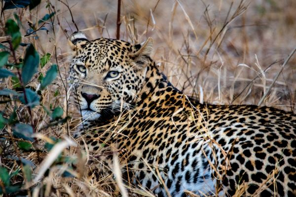 60% rise in leopard population in India; current count closes to 13K